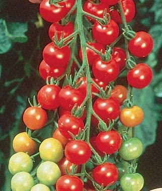 Elwyn Long ! Super beauty product restock quality top! Clusters Seeds Tomato Max 84% OFF Vegetable