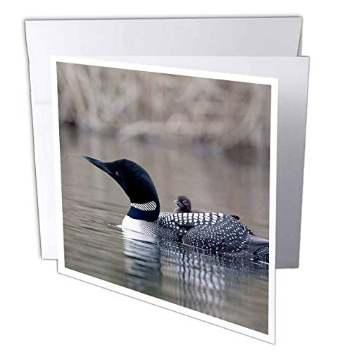 3dRose British Columbia. Common Loon with chick-CN02 CSL0062 - Charles Sleicher - Greeting Cards, 6 x 6 inches, set of 12 (gc_70368_2)