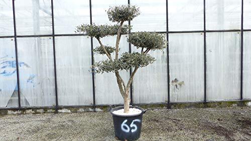 genau dieser Pon Pon 65: uriger, alter Olivenbaum als Bonsai Formgehölz, knorrige Olive winterhart