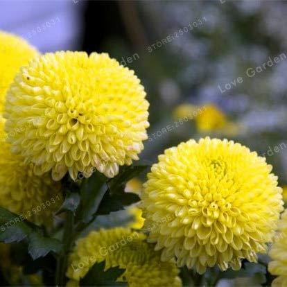 Pinkdose® He ier verkauf 2 birne gelbe dahlienzwiebeln schne mehrj hrige dahlie blumenzwiebeln bonsai saat diy hausgarten: 2