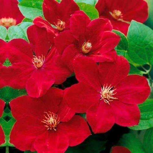 25 Bright Red Clematis Samen Große Bloom Klettern Staudengarten-Blumen