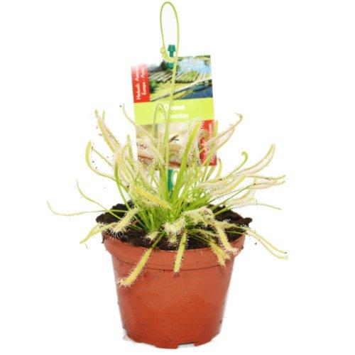 Fleischfressende Pflanze - Drosera capensis - der rote Kap Sonnentau - 8 bis 12cm!