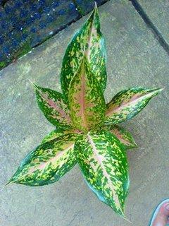 Vistaric 50 pcs/bolsa Aglaonema 'Pink Dud', hermosas plantas de mosaico, perennes, árboles de hoja perenne, semillas de flores, planta de interior, maceta de jardín 14