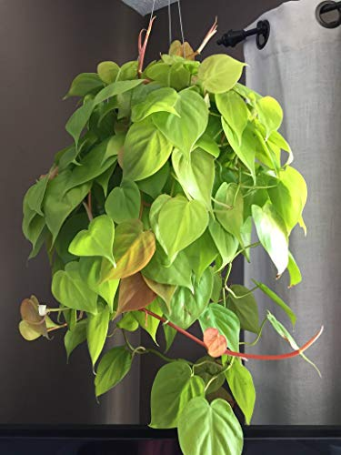 Philodendron Lemon Lime - Live Plant in a 6 Inch Growers Pot - Philodendron Hederaceum Lemon Lime - Strikingly Beautiful Indoor Air Purifying Houseplant