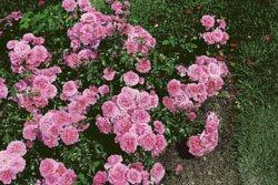 'Bad Birnbach' -R-, Beetrose, ADR-Rose im 4 L Container