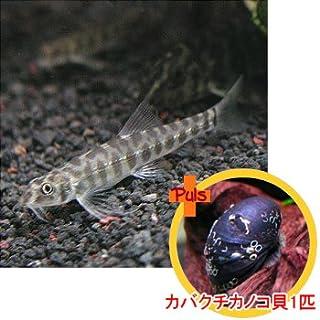 熱帯魚 ポルカドットローチ2匹とカバクチカノコ貝1匹のセット 【北海道・九州・沖縄・離島は発送不可】 生体