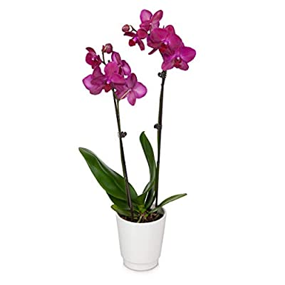 """Just Add Ice JAI242 Orchid Easy Care Live Plants, 5"""" Diameter, Purple by Green Circle Growers"""