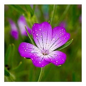 PREMIER SEEDS DIRECT - CORNCOCKLE - 15 GM Approx 1000 Seeds - AGROSTEMMA GITHAGO - Wild Flower