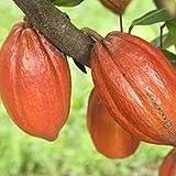 Benoon Semi di cacao, 20 pezzi/borsa semi di piante bellissimi semi di teobroma cacao ad alta germinazione per prato Seeds