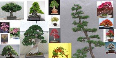 Bonsai Samen, Samen für Bonsai-Bäumchen im Set, Nadelbäume/Laubbäume/blühende Pflanzen – 10 Päckchen, 100 Samen