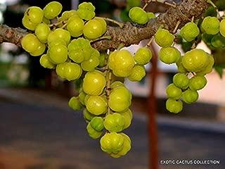 phyllanthus acidus plant for sale