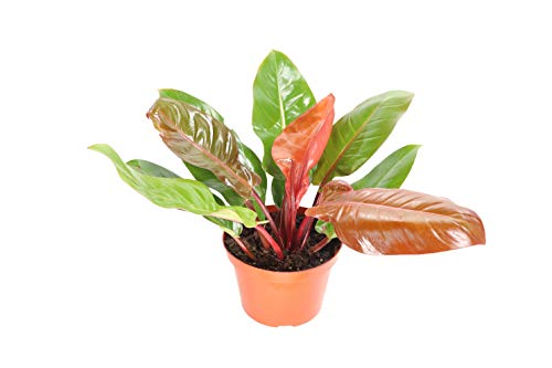 Philodendron (Prince of Orange) - 8'' from California Tropicals