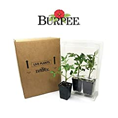 Grown by Burpee in our own greenhouses, we select the best 'Brandywine Pink' plants for every order Burpee ships 3 plants in , 2 1/2 inch pots ready for transplant into your garden beds or containers Plant to the garden 4 weeks after the average last...