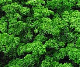 Bobby-Seeds Bio-Kräutersamen Mooskrause 2, Petersilie BIO Portion