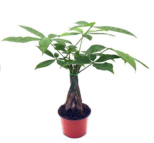 Glückskastanie (Pachira aquatica), pflegeleichte Zimmerpflanze (geflochten im 12cm Topf, ca. 45cm hoch)