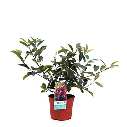 Setos y arbustos de Botanicly – Photinia 'Red Robin' – Altura: 60 cm