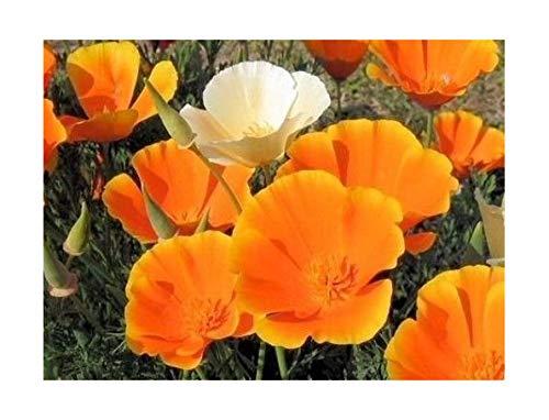 Kalifornischer Goldmohn - Mohn - 1000 Samen
