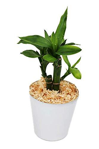 【純国産ひのきを使用した観葉植物。ひのきの香りで癒しの空間に。】 ハイドロカルチャー 観葉植物 ひのき アルミ鉢(ツヤ) ミリオンバンブー
