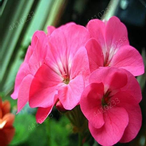 GETSO 100 Stück Mix Bunte Geranien Bonsai Pflanzen Pelargonium Staudenblumen Deko Heimgartenpflanzen