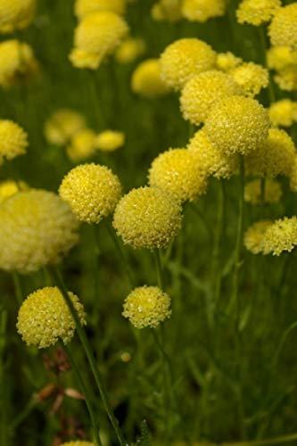 Baumschule Pflanzenvielfalt Grünes Heiligenkraut - Santolina rosmarinifolia