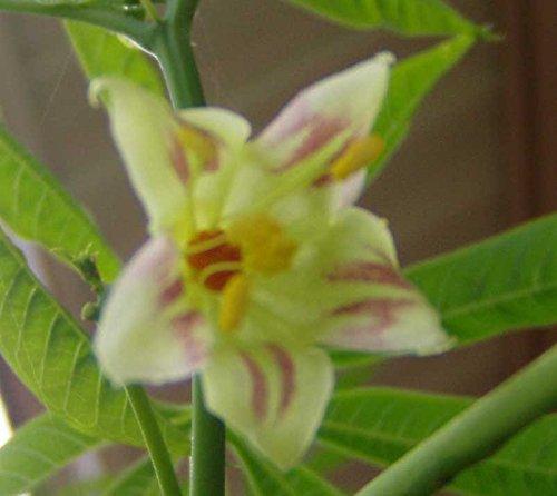 Manihot esculenta | Tapioca | Cassava | Yuca |...