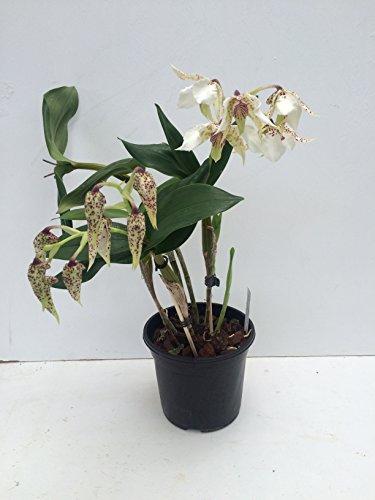1 blühfähige Orchidee der Sorte: Dendrobium atroviolaceum x eximium, traumhafte Orchidee vom deutschen Züchter