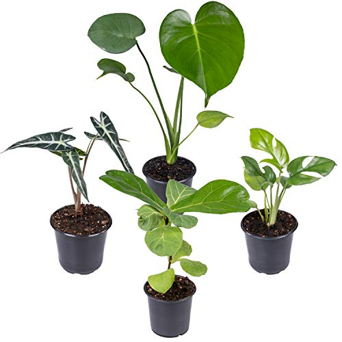 Seville Farms 4 Pack House Plant, 4 inch, Green