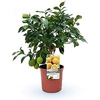 2 limoneros (Pack) - maceta C17