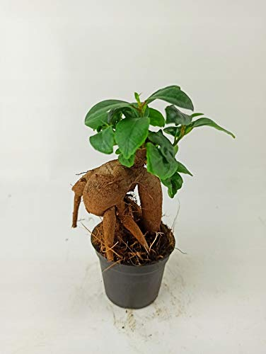Retne Bonsai FICUS Mini Mini Ginseng, Wald IN EINEM Glas
