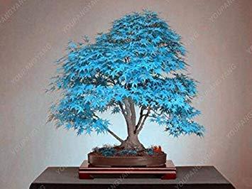 VISTARIC Surtidos: Libero 10 unidades raras semillas dracena árbol canarias sancio árbol dracaena draco aparente, exótico DIY plantas de jardín