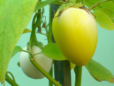 Seedeo Eierbaum (Solanum melonga) 20 Samen