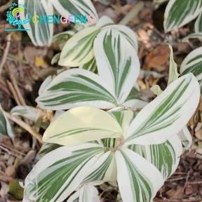 100 Pcs / Sac rares Costus Semences Semences Herbes Fleur Jardin Mini Arbre Pot d'intérieur Bonsai Seed Germination Taux 98% Plantes rares cadeaux