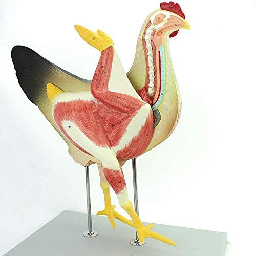 LBYLYH Anatomía Animal Modelo de Pollo, Modelo de Pollo ana