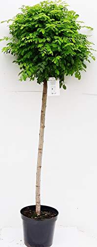 Kugel Akazie, Höhe: 170-180 cm, Kugel Robinie, Robinia Umbraculifera + Dünger