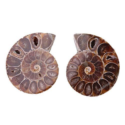 2pcs Fósil de Amonita Espécimen de...