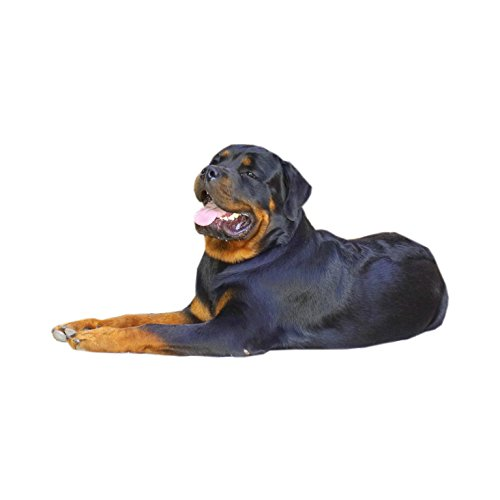 New – Rottweiler Dog Collar – XXL – buona qualità top a lunga durata – XXL