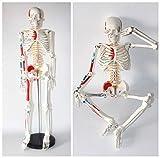 ZJHCC Modelo de Esqueleto Humano de tamaño Medio con Brazos y piernas extraíbles Estudio científico Inserción Muscular y Puntos de Origen Pintados y numerados, 85 cm con Base de Metal.