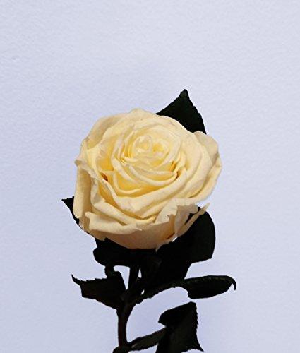 Floréate Rosa Beige eterna preservada Tallo 25 cm