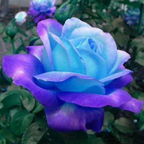 QHYDZ Garten-50pcs Semillas de Rosa con Flor Grandes, Rara Exotica Ros