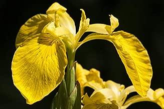 swamp iris yellow