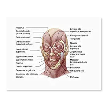 Posterazzi Facial muscles of the human face  with labels  Poster Print  16 x 12