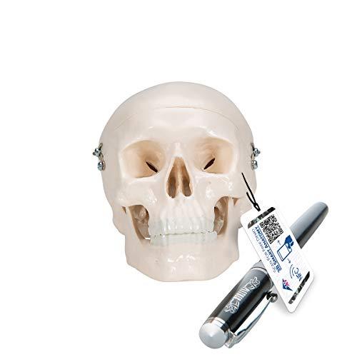 3B Scientific A18/15 Modelo de anatomía humana Cráneo Miniatura, de 3 Piezas + software de anatomía gratuito - 3B Smart Anatomy