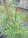 Heide Tamariske - Sommertamariske - Tamarix ramosissima