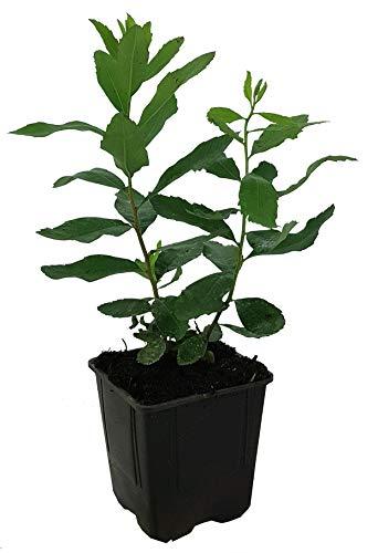 Seedeo® Gagelstrauch (Myrica gale) ca. 15 cm hoch