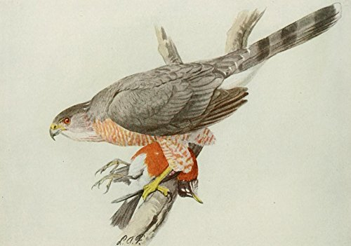 Posterazzi Book of Birds 1921 Cooper's Hawk Poster Print by L.A. Fuertes, (24 x 36)
