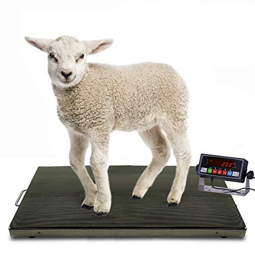 Milestone MS-700AS 38x20 Inches 700×0.1lb Vet Scale | Animal Scale | Small Livestock Scale | 304 Stainless Steel Platter | Mild Steel Frame | Digital Animal Scale with PS-IN202 Indicator