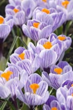 King of Striped Crocus- Purple-White- 20 Bulbs Imported from Holland