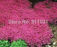 Nouveau jardin des plantes 10 Graines Véritable Thymus serpyllum Magic Carpet Creeping Thyme couverture du sol Herb Seeds