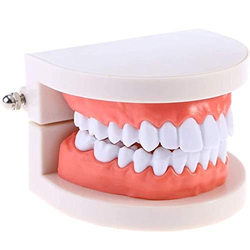 TKer Zahnpflegemodell, Lebensgröße Standard-Zahnzahnmodell, für Zahnbürstenschule Lehrmittel Laborbedarf