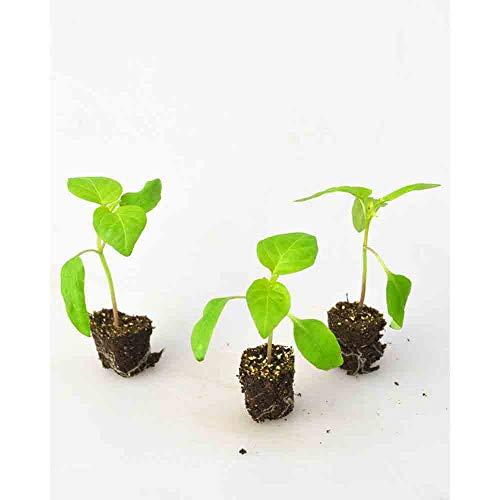 Paprikapflanzen - Spitzpaprika/Manati® Red - Capsicum annuum - 3 Pflanzen im Wurzelballen